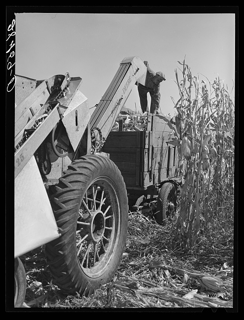 Harvesting hybrid corn with mechanical picker. Grundy County, Iowa