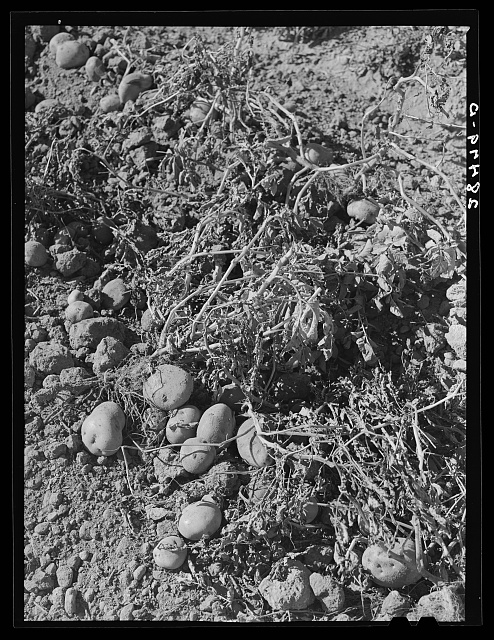Potatoes in the field. These are Red McClures. Rio Grande County, Colorado