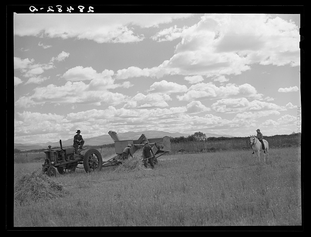 Harvesting grain on farm of FSA (Farm Security Administration) client near San Luis, Colorado
