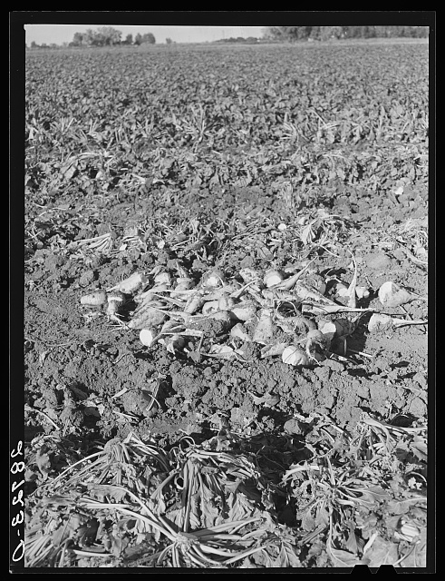 Topped sugar beets in the field. Adams County, Colorado