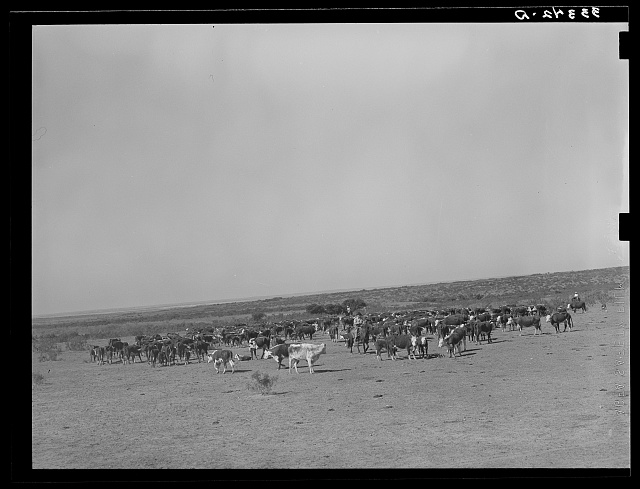 Roundup of cattle on SMS Ranch near Spur, Texas