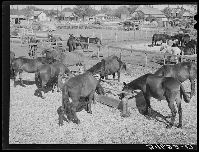 Mules feeding in sale lot. Taylor, Texas