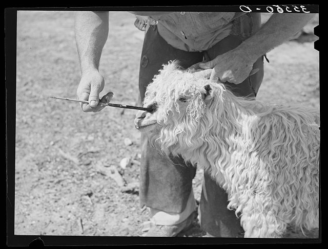 Marking a nanny goat, mother of newly born kid. Her kid will be similarly marked. Kimble County, Texas