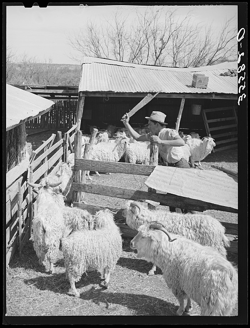 Worker driving goats from pen into shearing pen on ranch in Kimble County, Texas