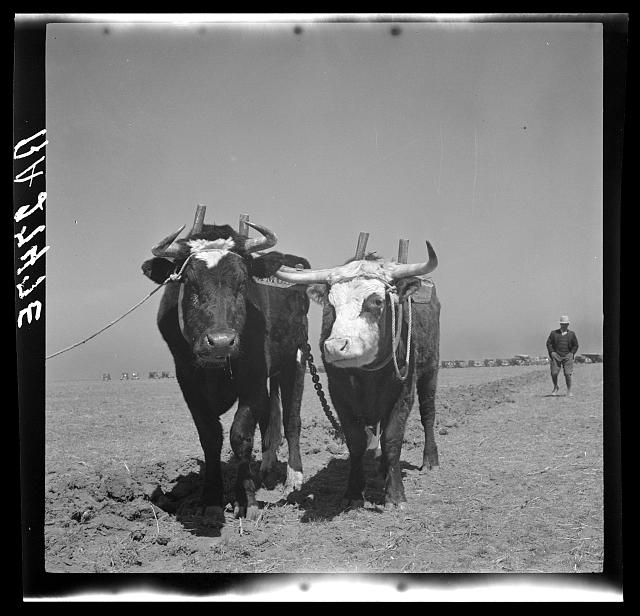 Oxen once used as work animals on the farms of northwest Texas