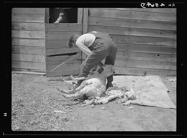 Shearing sheep. Converse County, Wyoming