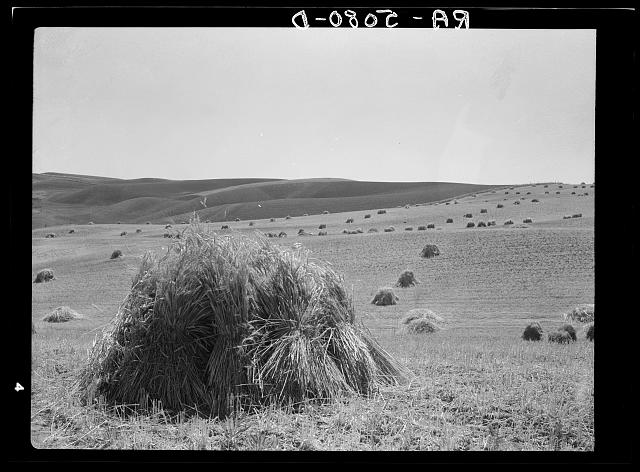 Wheat fields near Walla Walla, Washington
