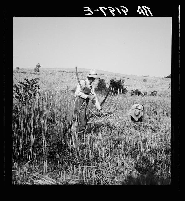 Cradling wheat near Christianburg, Virginia