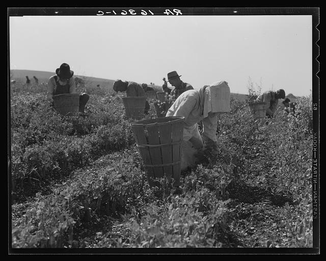 Migratory workers harvesting peas near Nipomo, California