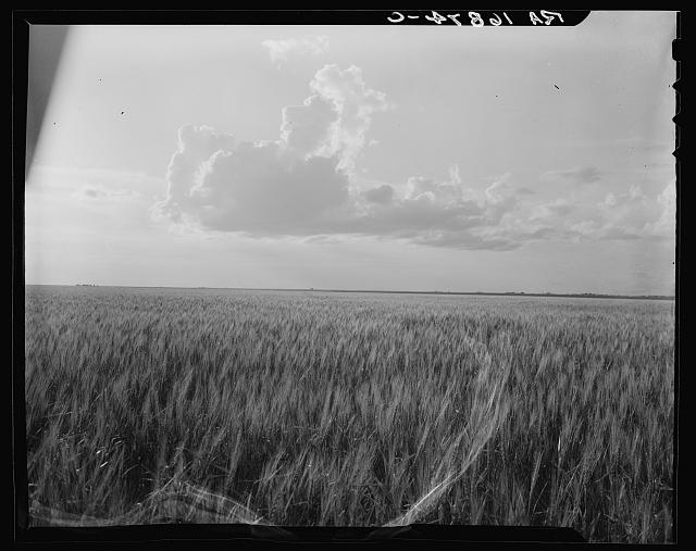 Oklahoma wheat