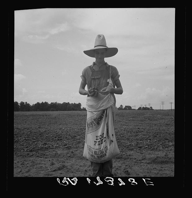 Farm boy with sack full of boll weevils which he has picked off of cotton plants. Macon County, Georgia