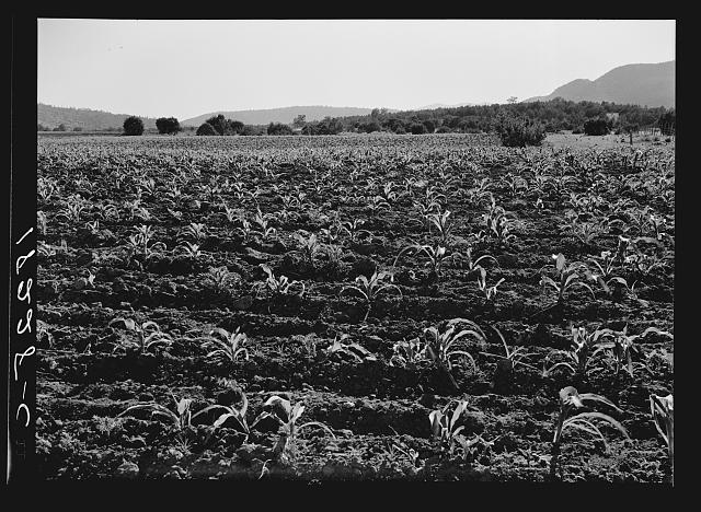 Field of young corn near Mescalero Apache Reservation. New Mexico