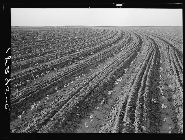 Young cotton growing in mechanized field. Hall County, Texas. Anyone who inspects one of these giant mechanized farms must realize that it foreshadows a fundamental change in American agriculture