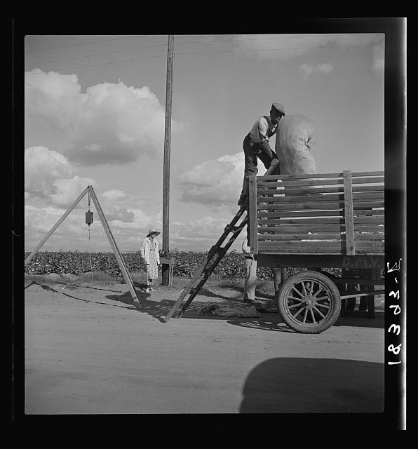 Loading cotton after weighing. San Joaquin Valley, California