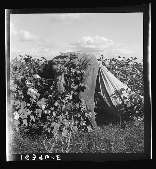 Migratory field worker picking cotton in San Joaquin Valley, California. These pickers are paid seventy-five cents per hundred pounds of picked cotton. Strikers organizing under CIO union (Congress of Industrial Organizations) are demanding one dollar. A good male picker, in good cotton, under favorable weather conditions, can pick about two hundred pounds in a day's work
