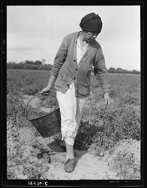 Mexican grandmother who migrates with large family each year from Glendale, Arizona, following crops thru California and return. Here shown harvesting tomatoes, Santa Clara Valley, California