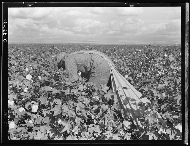 Migratory field worker picking cotton in San Joaquin Valley, California. These cotton pickers are being paid seventy-five cents per one hundred pounds. Strikers organizing under the Congress of Industrial Organizations union (CIO) demand one dollar. A good male picker, in good cotton, under favorable weather conditions, can pick about two hundred pounds in a day's work