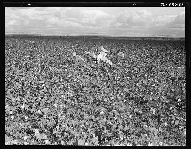 Migratory field workers picking cotton in the San Joaquin Valley, California. Negroes, Mexicans, and refugee whites pick cotton together in this field. These pickers are being paid seventy-five cents per one hundred poounds of picked cotton. Strikers, organizing under the Congress of Industrial Organizations (CIO), are demanding one dollar