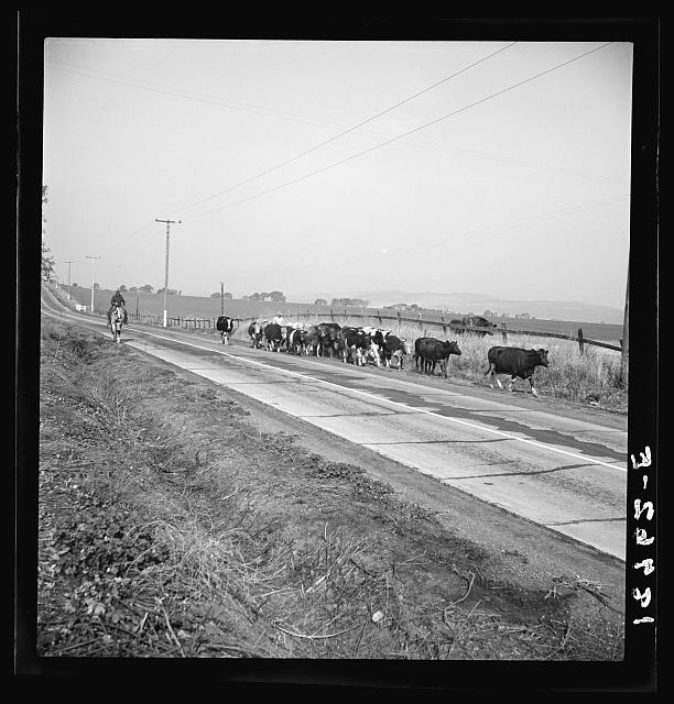 Contra Costa County, California. Bringing cattle in from the range. Common sight on California highways