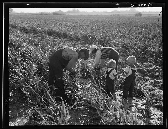 Near Manteca, California. Formerly rehabilitation clients. Now operating own farm under Tenant Purchase Act. A year and a half ahead on their payments. Family labor harvesting milo maize. Average loan for purchase of farm and improvements in San Joaquin County is seven thousand four hundred and sixty-five dollars
