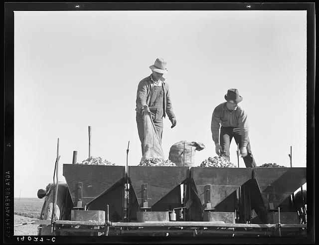 Loading bins of potato planter with fertilizer and seed from trailer at edge of field. Kern County, California