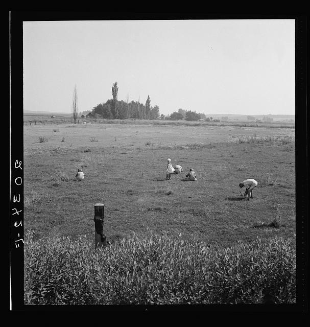German-Russian children gathering clover seed in the pasture. Washington, Yakima Valley, near Toppenish