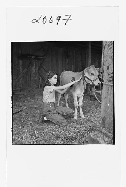 Young girl, daughter of small pear farmer tends her calf. She belongs to the 4-H Club, the largest movement among rural youth in America. Oregon. Jackson County, near Medford