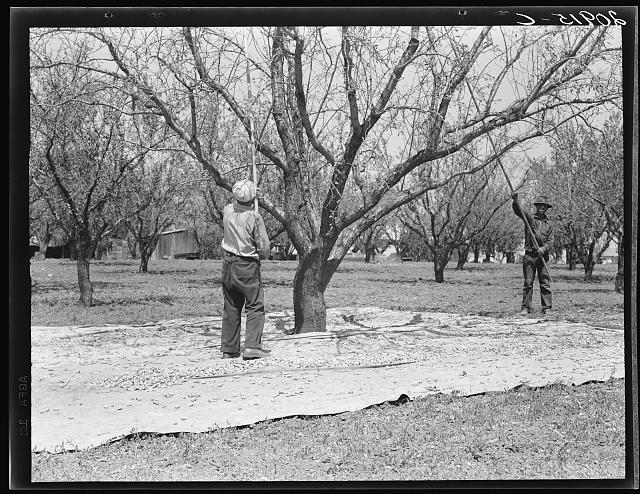 Harvesting on almond ranch, local day labor. Near Walnut Creek, Contra Costa County, California