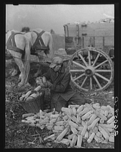 Loading husked corn. Washington County, Maryland