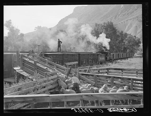 Loading fat lambs on narrow gauge railway for shipment to Denver market. Cimarron, Colorado