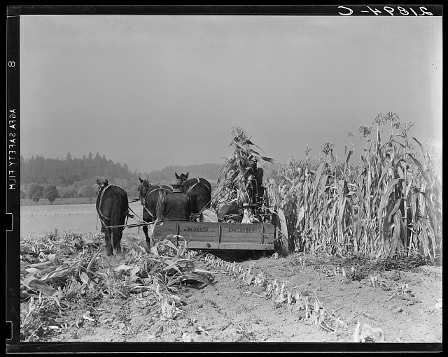 Cutting the corn on the Miller farm near West Carlton, Yamhill County, Oregon. See general caption 57 and 58