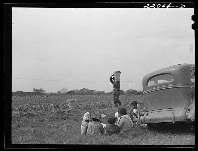Brownsville, Texas (vicinity). Harvesters in bean field