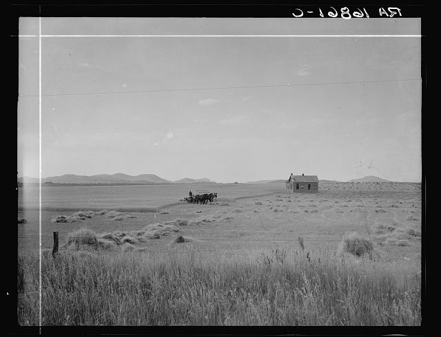 Abandoned tenant house and large-scale wheat field near Kincaid, Texas