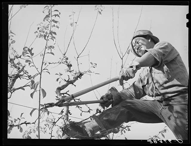 Pruning fruit tree. Placer County, California