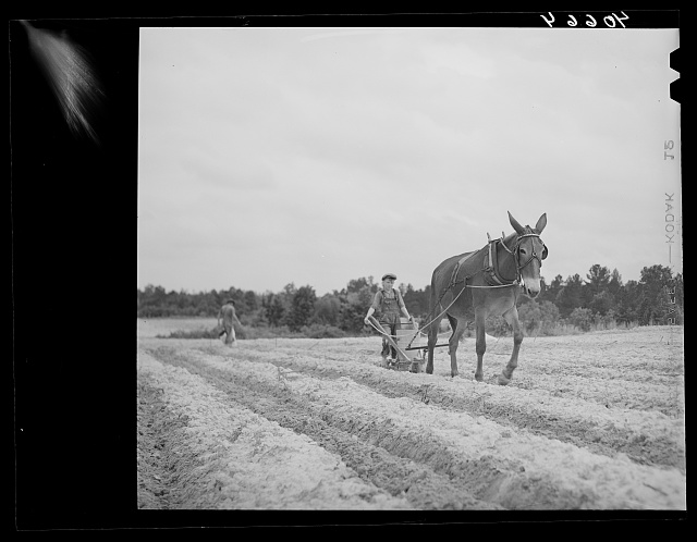 Fertilizing tobacco field. Farm of J.R. Ray. Five miles northeast of Durham, North Carolina on U. S. 15