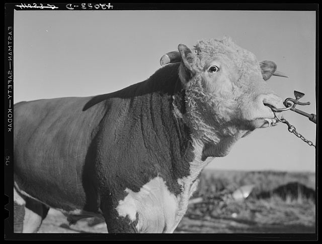 Prize bull owned by Robert Cunningham, FSA (Farm Security Administration) client. Beef cattle is being introduced to supplement potatoes as a source of income. Washburn, Maine