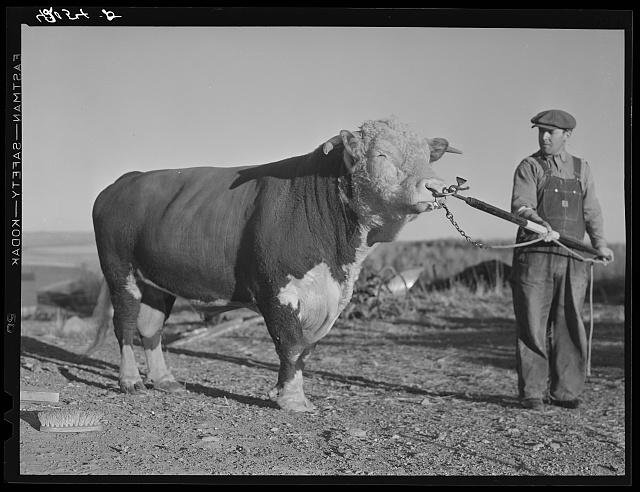 Prize bull owned by Robert Cunningham, FSA (Farm Security Administration) client. Beef cattle is being introduced to supplement potatoes as a supplementary source of income to potatoes. Washburn, Maine