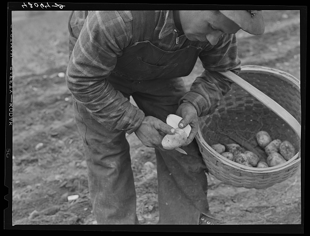 Method of cutting seed for immediate use in planting. The Levesque farm near Van Buren, Maine
