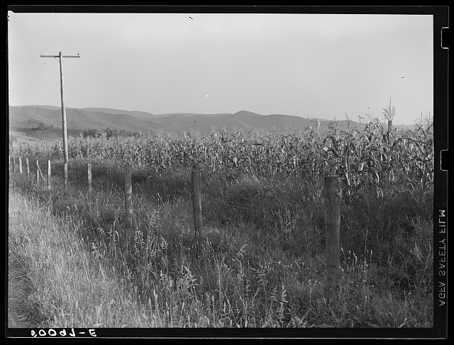 Cornfield. Tygart Valley, West Virginia