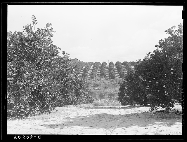 Orange grove near Frostproof, Florida