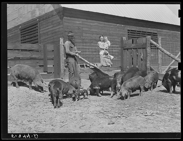 Mr. and Mrs. George Johnson and their hogs. Tenant purchase clients. Pike County, Alabama