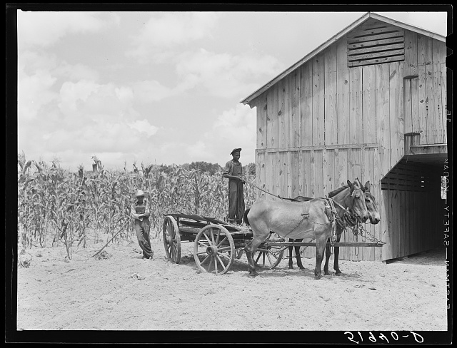 New mules and barn of Frederick Oliver, tenant purchase client. Summerton, South Carolina