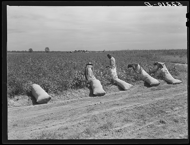 Cotton pickers on Mileston Plantation. Mississippi Delta, Mississippi