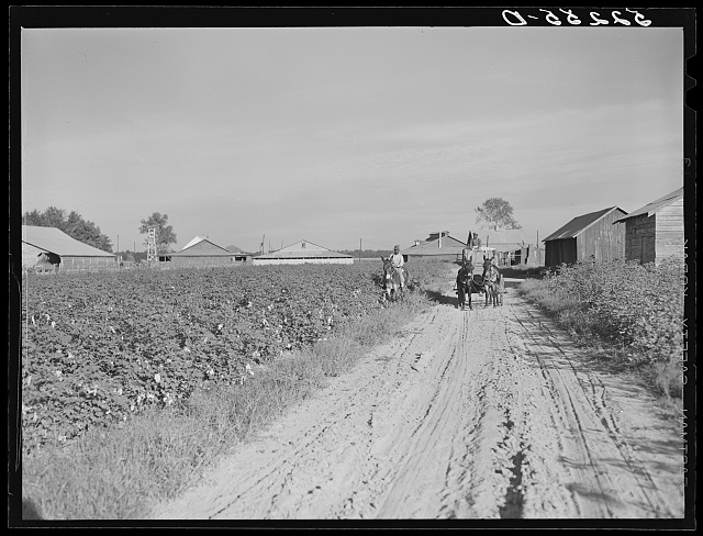 Wagonload of cotton coming out of the field in the evening. Mileston Plantation, Mississippi Delta, Mississippi