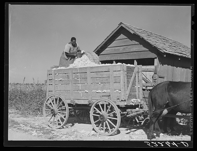 Taking cotton out of the cotton house and putting it on the wagon to be taken to the gin. Marcella Plantation Mileston, Mississippi Delta, Mississippi
