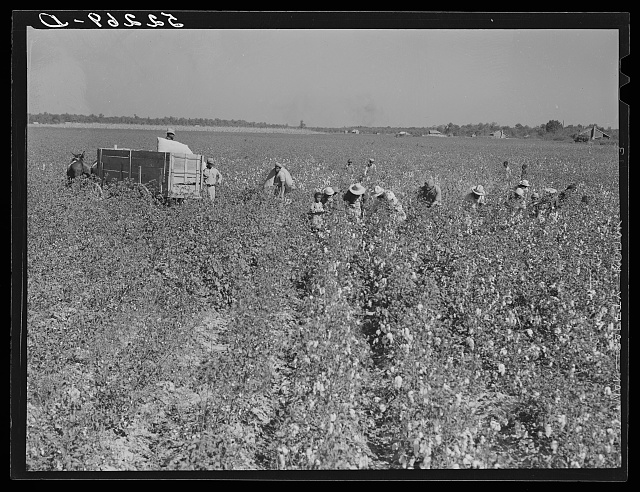 Picking cotton. Mileston Plantation, Mileston, Mississippi Delta, Mississippi