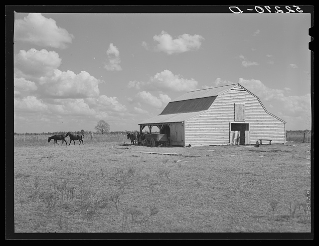 Mules and new barn of Cube Walker, tenant purchase client. Belzoni, Mississippi Delta, Mississippi