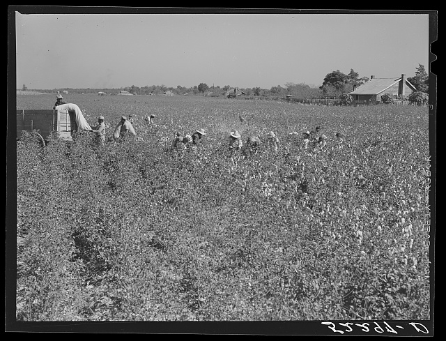 Picking cotton on Marcella Plantation. Mississippi Delta, Mississippi