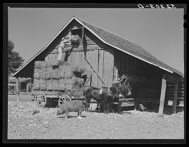 Wagonload of hay being put into a barn on Marcella Plantation. Mileston, Mississippi Delta, Mississippi