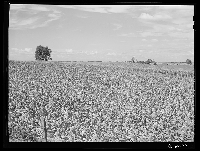 Fields of tobacco with corn in background. South of Louisville, Kentucky
